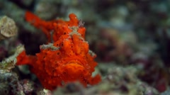 Orange painted frogfish 022 Stock Footage