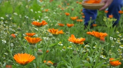 Fresh marigold flower and blurred hand pick blossom in plate. 4K Stock Footage