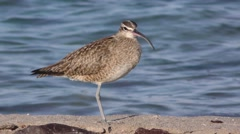 Whimbrel Curlew Shorebird on Baja Peninsula in Winter Season Stock Footage