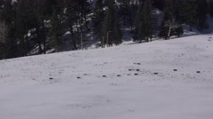 Large Pack of Gray Wolves Walking Across Snow at Yellowstone NP in Winter - stock footage