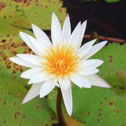 A beautiful waterlily or lotus Stock Photos