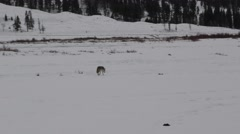 Zoom in On Coyote Walking in Snow in Winter at Yellowstone National Park Arkistovideo
