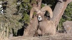 Full Curl Trophy Bighorn Sheep Ram at Yellowstone National Park - stock footage