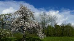 Apple tree full blooming on greeen meadow - pan left Stock Footage
