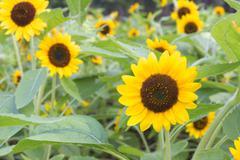 Beautiful sunflower in the field - stock photo