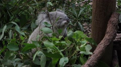 Koala Feeding on Leaves in Forest at Dusk Stock Footage