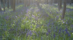 English Bluebell Wood In Spring Pan right into sun - stock footage