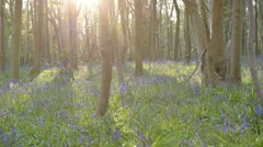 Bluebell Woodland at sunset Stock Footage