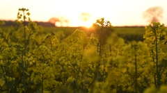 Oil Seed Rape at Sunset Stock Footage