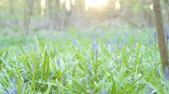Bluebell Woodland shallow focus Stock Footage