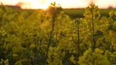 Field Of Oil Seed Rape at Sunset  rack focus - stock footage