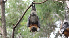 Grey-headed Flying Fox Bat Hanging Upside Down in Eucalyptus Tree Stock Footage