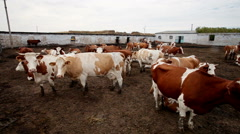 Dairy cows in paddock at the farm Stock Footage