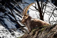 Alpine horned mammal named steinbock or capra ibex in mountain Stock Photos