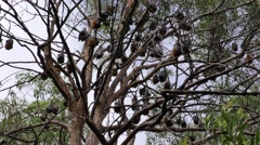Grey-headed Flying Fox Bat Camp in Australia Stock Footage