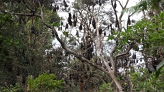 Grey-headed Flying Fox Bats Hanging Upside Down in Trees Stock Footage
