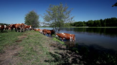 Dairy cows drinking water from a pond Stock Footage