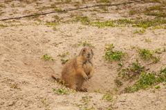 Wild animal in a western desert - stock photo