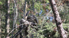 American Robin in the Forest Stock Footage