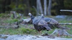 Wild Turkeys walking around looking for food Stock Footage