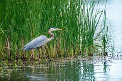 Great Blue Heron (Ardea herodias) in the reeds on a lake - stock photo