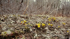 Nature, first spring flowers in the gloomy forest, dolly track shooting. Stock Footage