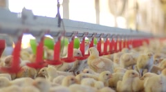 Small chickens drinking water in farm Stock Footage
