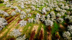 Aerial view of beautiful blossoming apple-tree garden Stock Footage
