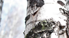 Birch Birch Sap Drips Stock Footage