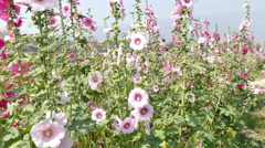 Blooming Hollyhock flower in the garden Stock Footage