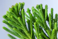 Closeup of araucaria stalk in the on a light background Stock Photos