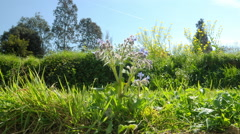 Timelapse - zoom in to a borage in flowers - a bee lands to gather. Stock Footage
