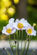 Spring flower wood white anemone - anemone` nemorosa. Close up Stock Photos