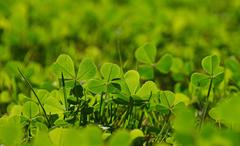 Spring clover leaves in green grass - stock photo