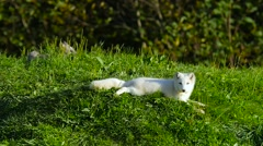 Small Arctic Fox laying down on green grass in summer Stock Footage