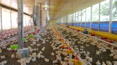 Chickens in the aviary - stock footage