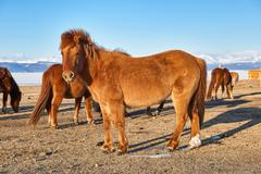 Elegant Mongolian horse Stock Photos