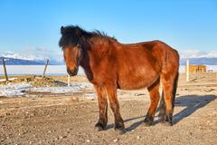 Mongolian horse standing - stock photo