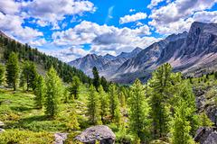 Siberian mountain rare woods - stock photo