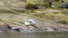 Seals laying down on rocks along side the Saint Lawrence River Stock Footage