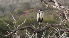 African Grey Heron Stock Footage