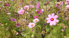 Blooming pink cosmos flower meadow in the park Stock Footage