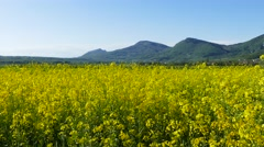 Rapeseed flowers - tilt up Stock Footage