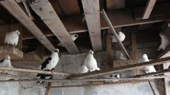 Domestic pigeons in the dovecote on vacation sitting on the shelf Stock Footage