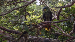 Orange Winged Parrot (Amazona amazonica) resting in  a teee Stock Footage