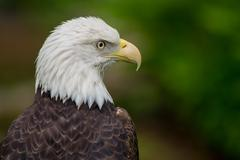 Bald Eagle Looking Right - stock photo