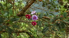 Flowering bush of Tibouchina lepidota in montane rainforest Stock Footage