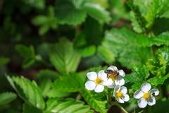 Bee pollinating strawberry blossom Stock Photos