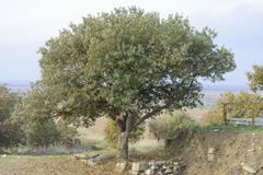 The Oak tree growing on the ruins of ancient city of Troy Stock Photos