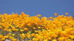 Bright orange California poppies against a bright blue spring sky Stock Footage